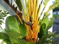 birdofparadise.JPG (106447 bytes)